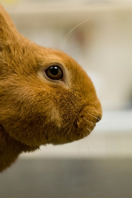New Rabbit Vaccination Now Available